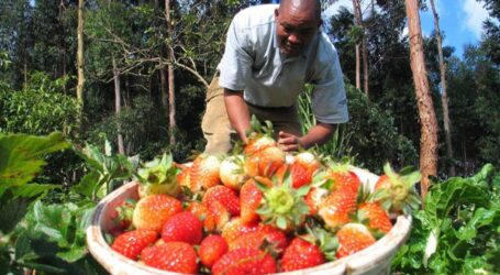 How to grow and market strawberries