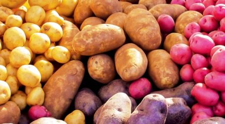 KALRO releases new potato seed for multiplication