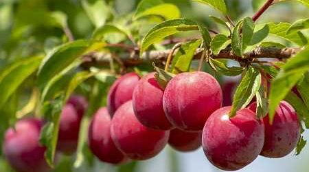 Six trees for your year-round supply of fruits