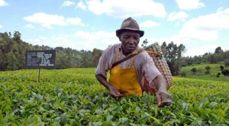 Tea farmers' fears amid good prospects