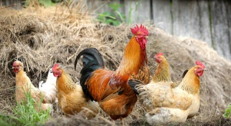 Social distancing' in poultry can reduce antibiotic use