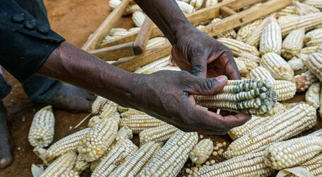 Is your farm produce free of aflatoxins?