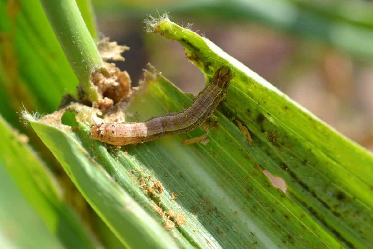 A portal to get Fall Armyworm inform is here