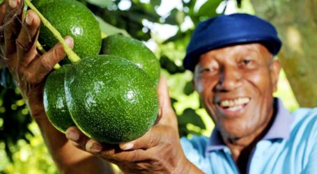 HASS AVOCADO FARMING READY FOR TAKE-OFF