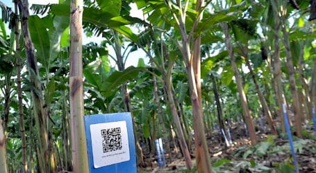 IITA-led banana breeding project develops modern track and tracing system