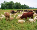 Brucellosis in animals: Symptoms and Prevention