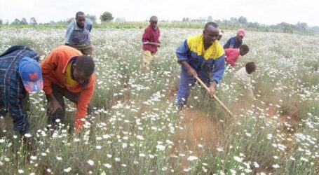 Farmers in Elgeyo-Marakwet to get Ksh250,000 each to revive pyrethrum growing