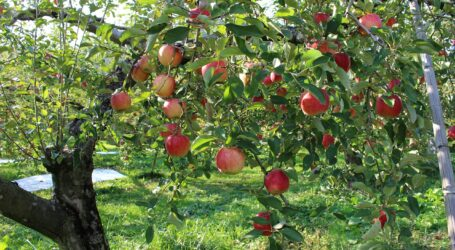 From only one-quarter of an acre, with a little over 300 trees, farmer is reaping sweet rewards