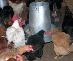 Why you should consider Kuroiler chicken