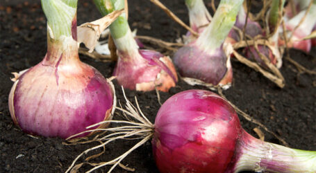 How to grow, transplant, harvest and cure onions