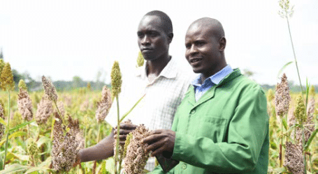 how to grow sorghum