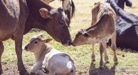 New means to control spread of Brucellosis in livestock and humans