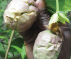 Pest and diseases that affect passion fruits