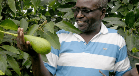 How to get avocado trees to fruit at 14 months