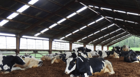 Cow comfort principles and how they help your animals