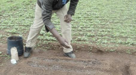How to plant managu