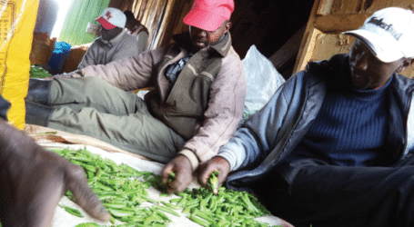 Sugar snap peas snapping up farmers' interest