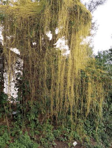 dodder plant