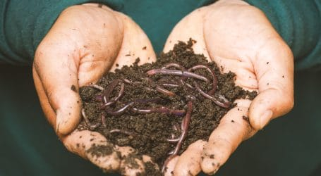 Insects in animal feed